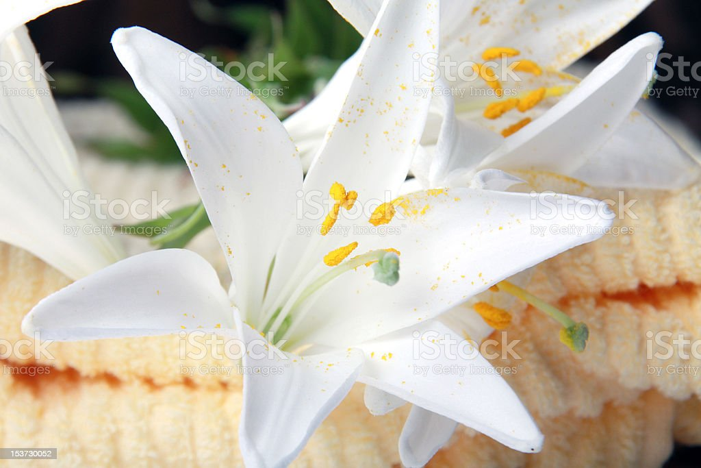 Lilly royalty-free stock photo