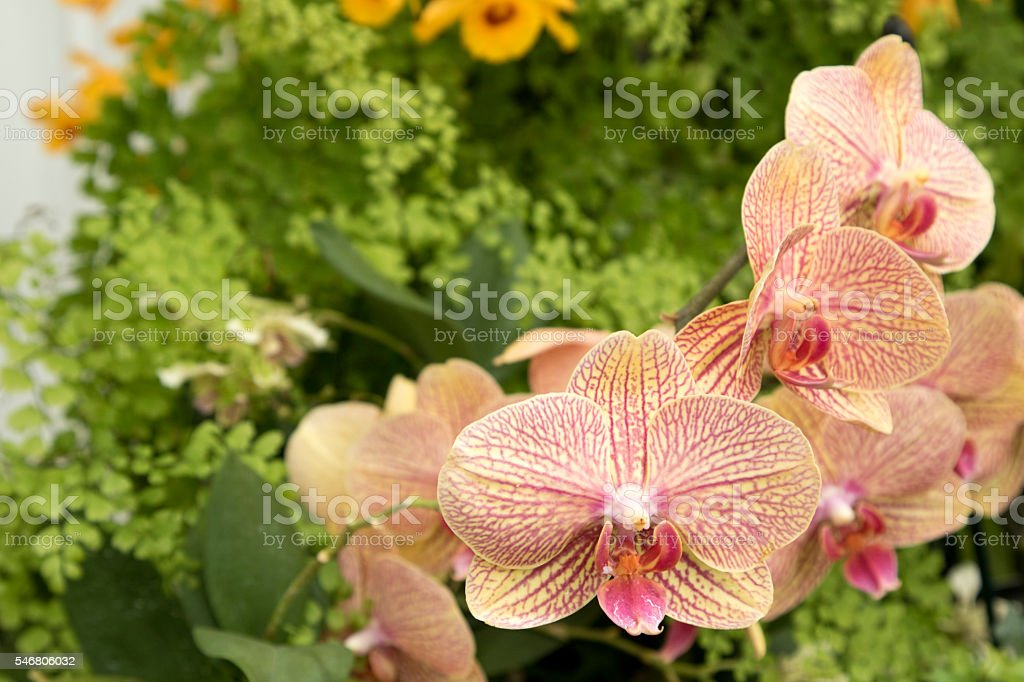 Lilly pink and orange, greenery and orange flowers  in background stock photo