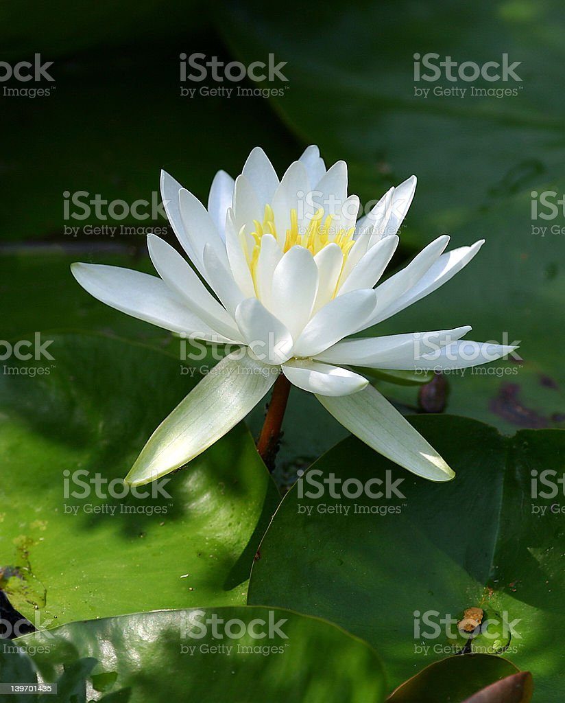 Lilly Pond royalty-free stock photo