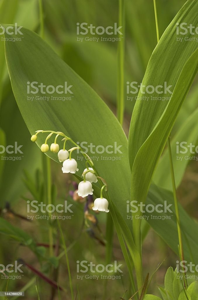 Lilly-of-the-Valley stock photo