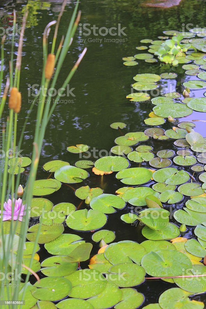 Lillypads and Cattails royalty-free stock photo