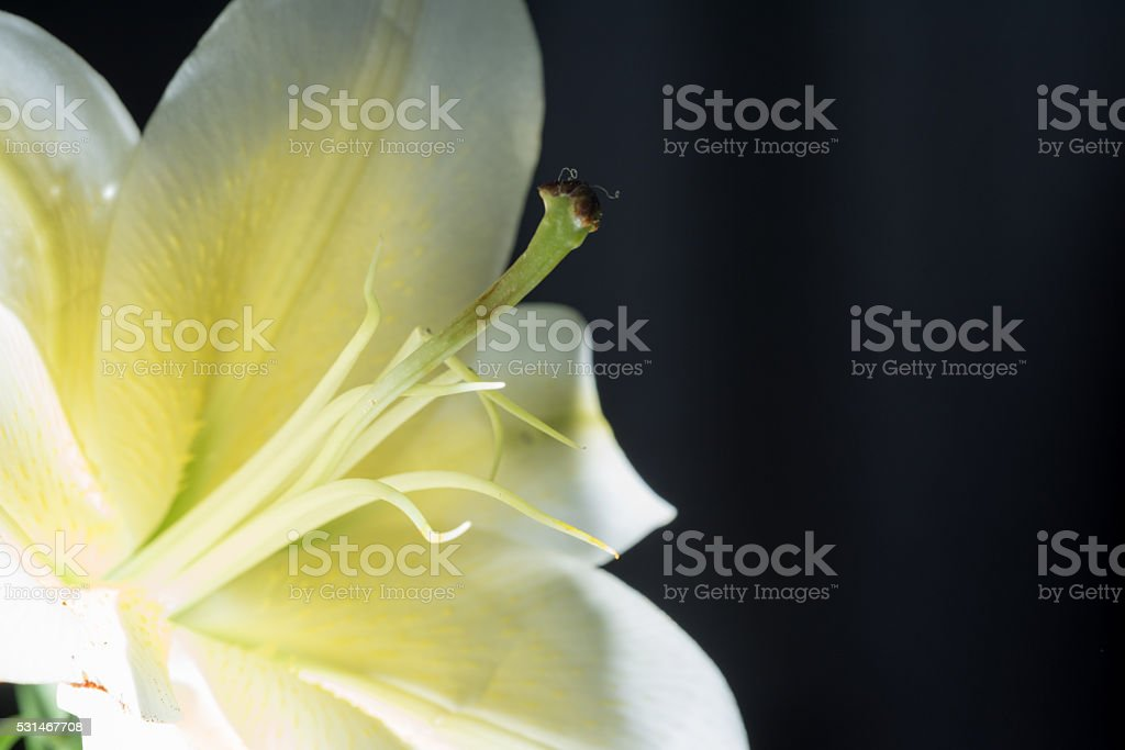 Lily after the rain royalty-free stock photo