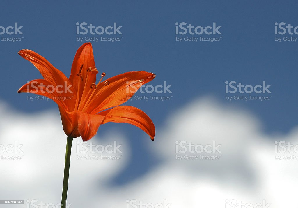 Lily and Clouds royalty-free stock photo