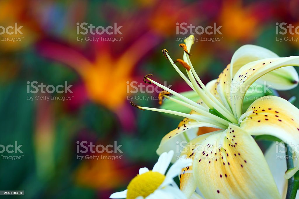 Lily and day lily stock photo