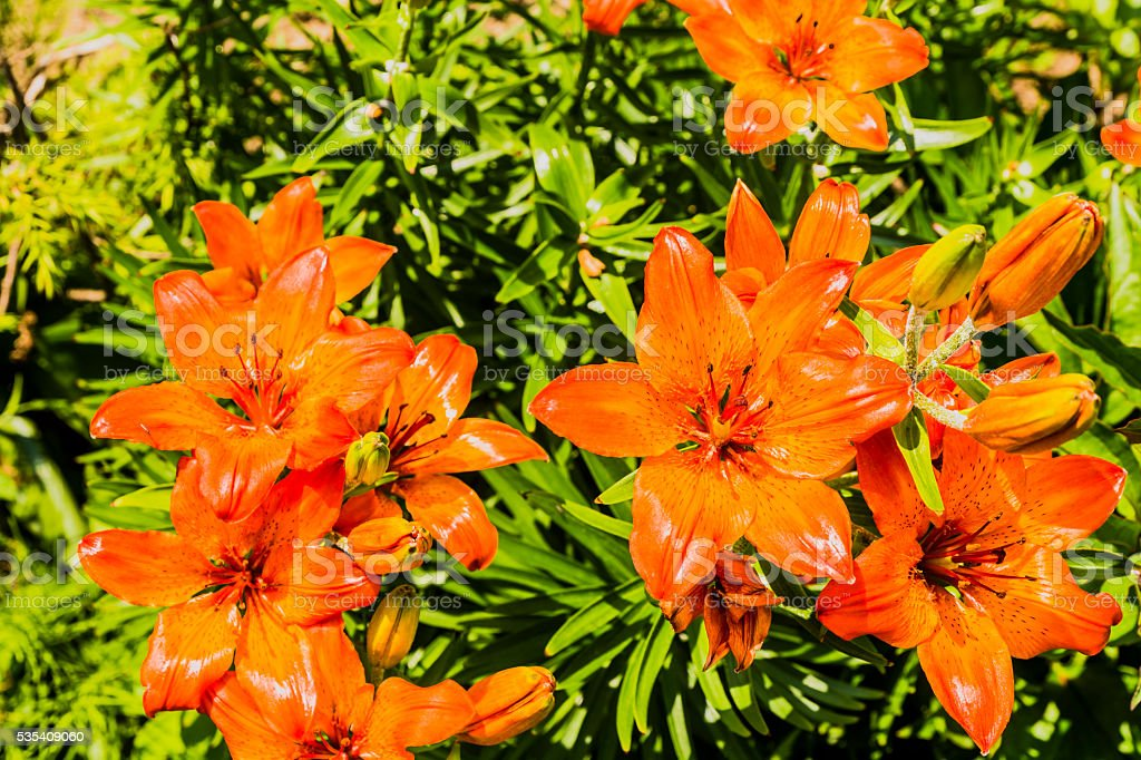 Lily blooming in the garden. stock photo