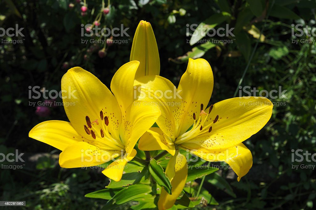 lily blossom stock photo