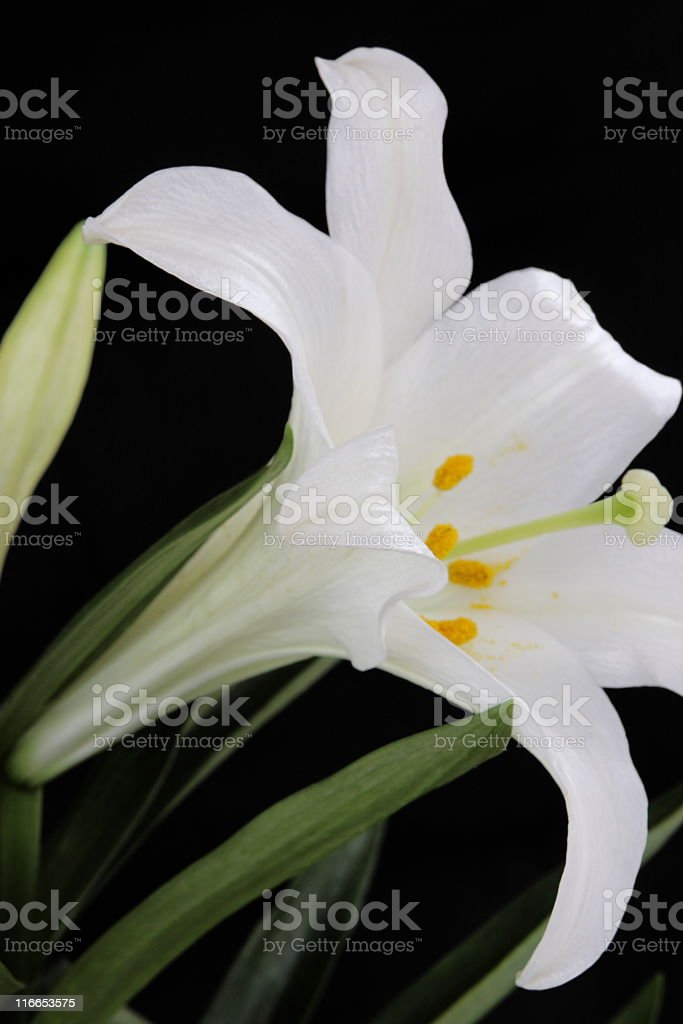 Lily Easter Wedding Flower Blossom royalty-free stock photo