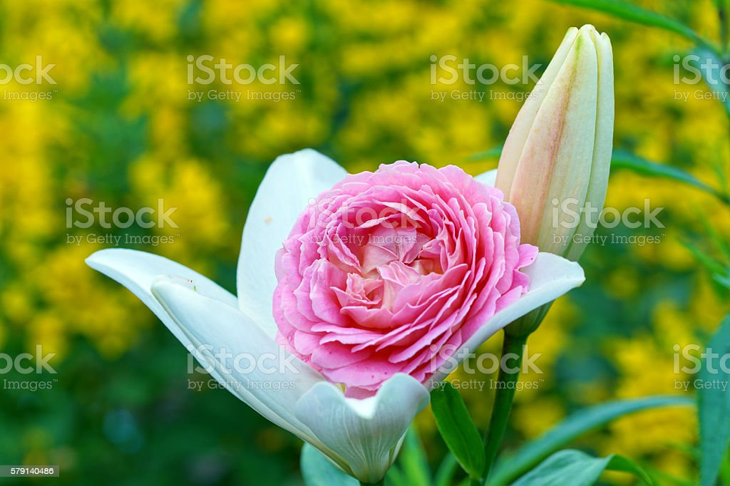 Lily, english rose and dotted loosestrife stock photo