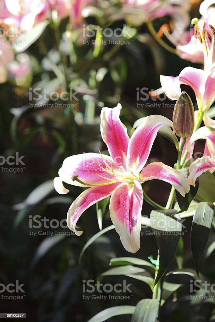 Lily flower blossom in garden stock photo