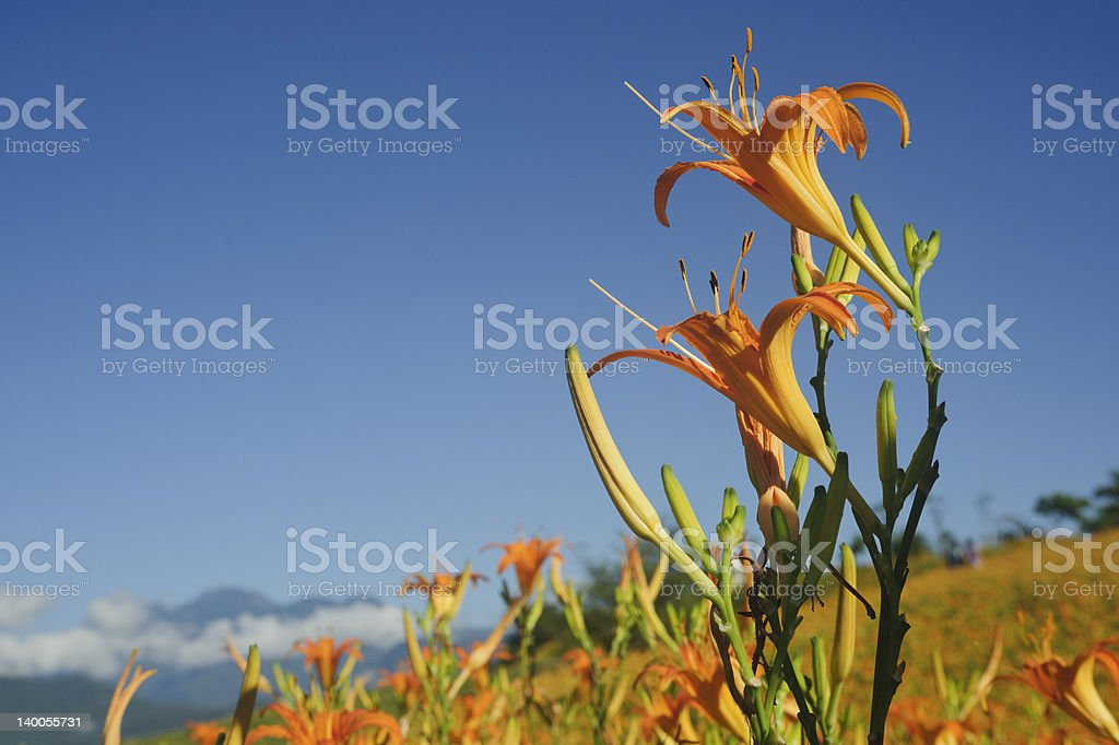 lily flower field royalty-free stock photo