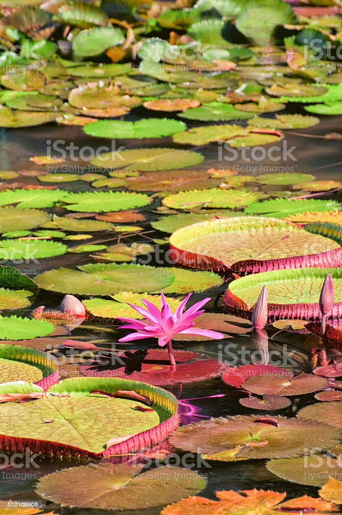 lily flower of the amazon river stock photo
