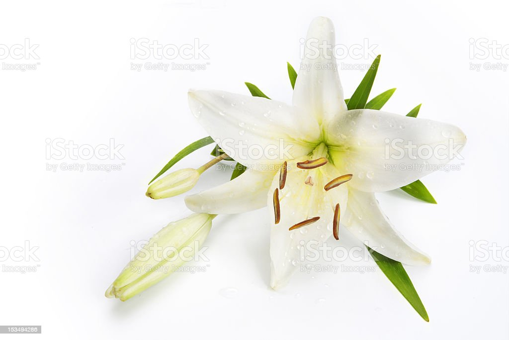 lily flower on white background stock photo