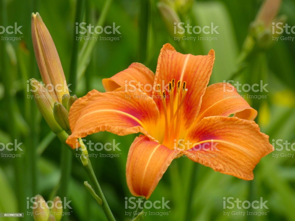 Lily (Lilium L.) Flower Summer stock photo