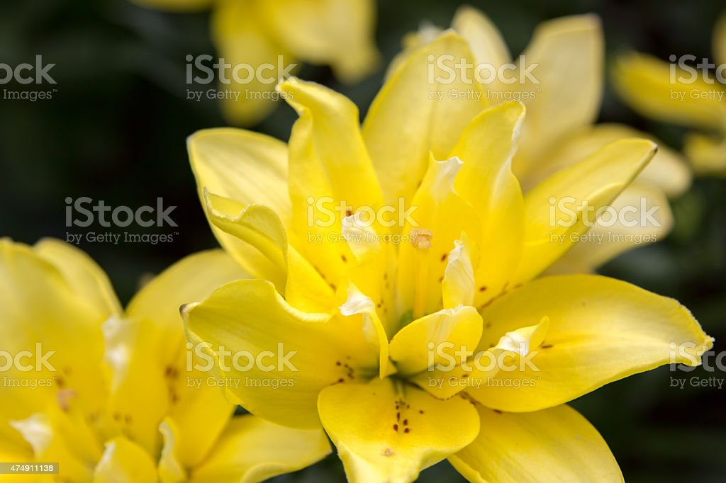 lily flowers in the foliage closeup stock photo