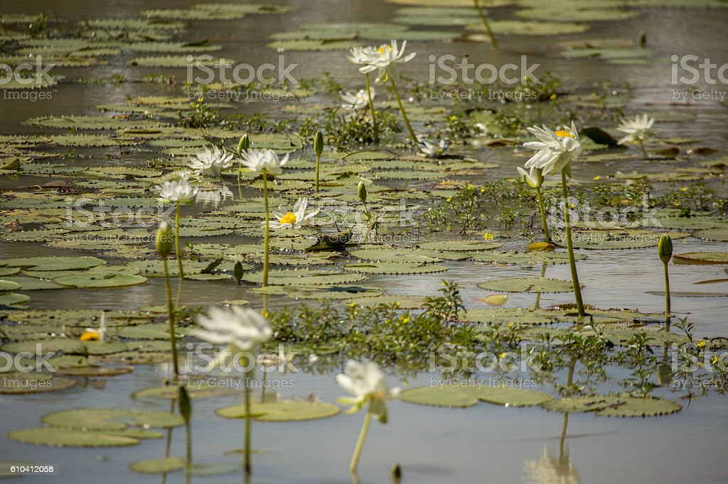 Lily flowers on a billabong stock photo