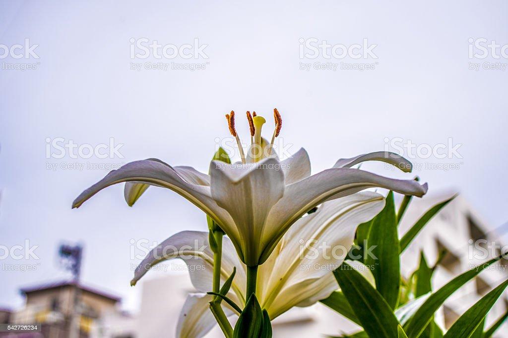 Lily fleurs  photo libre de droits