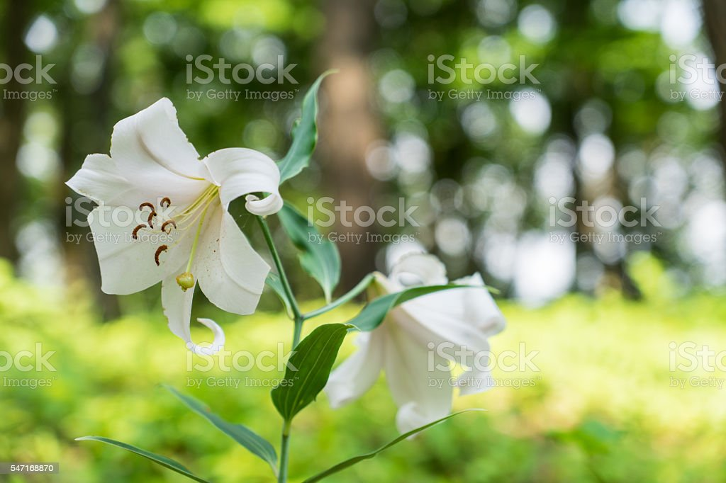 Lily flowers were in bloom hills and fields stock photo