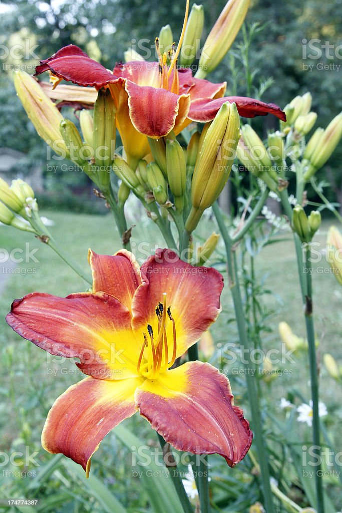 Lily Garden royalty-free stock photo