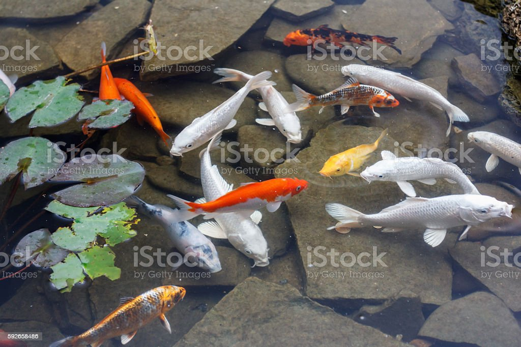 Lily, gold fish in a man made pond. stock photo
