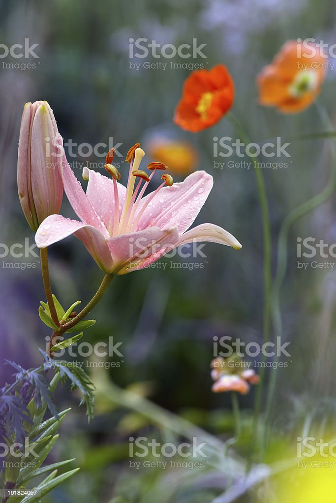Lily in garden royalty-free stock photo