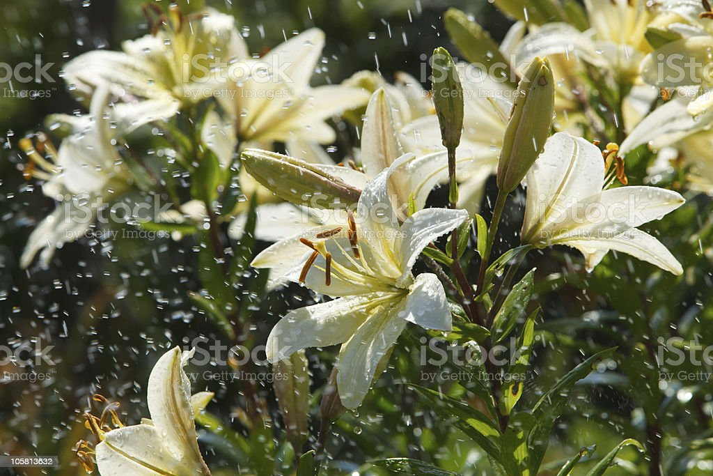 Lily in the rain royalty-free stock photo