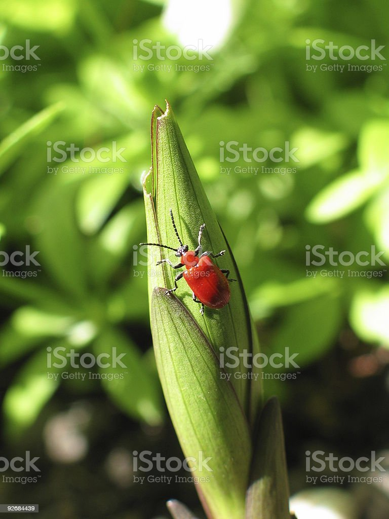 Lily Leaf Beatle royalty-free stock photo