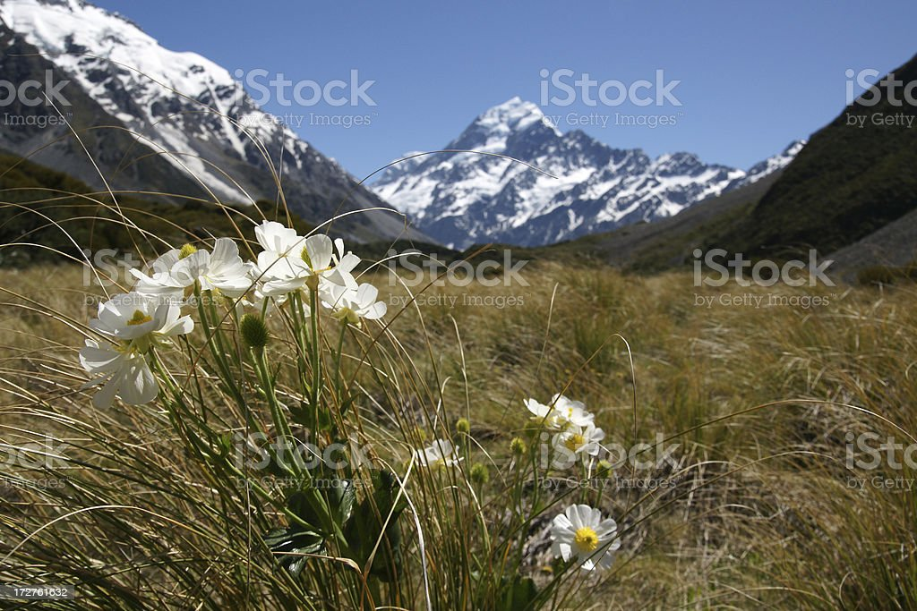 Lily near Mount Cook stock photo