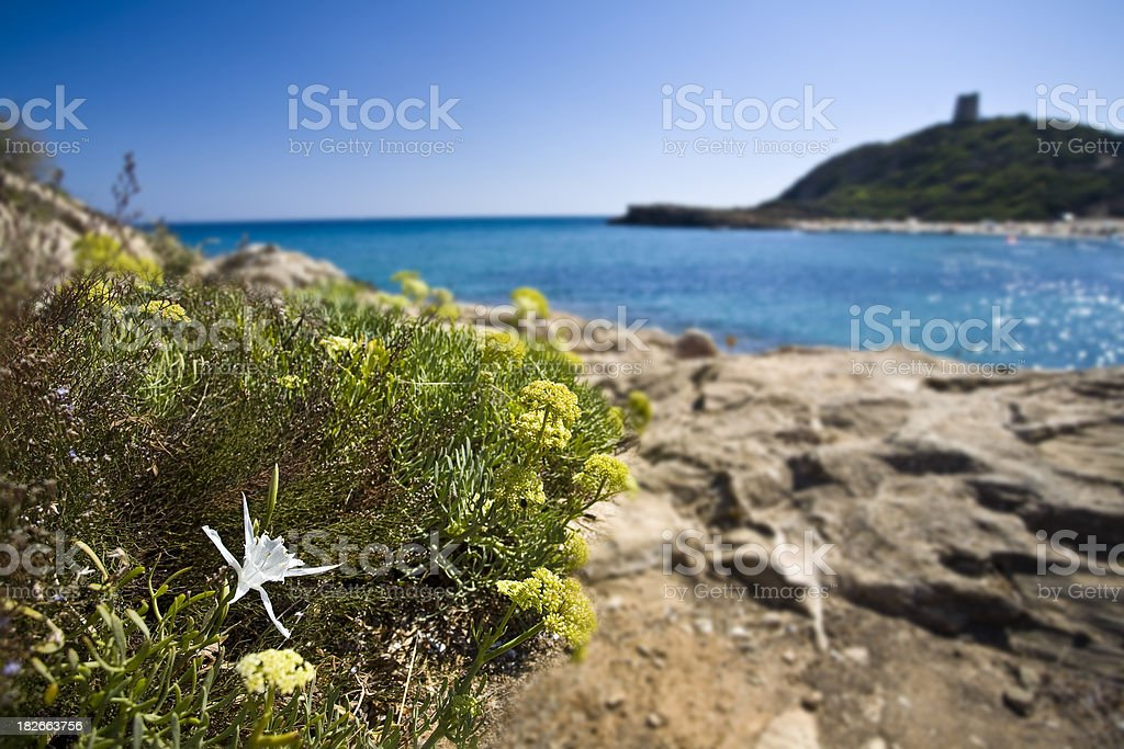Lily of the sea at Chia, in Sardinia royalty-free stock photo