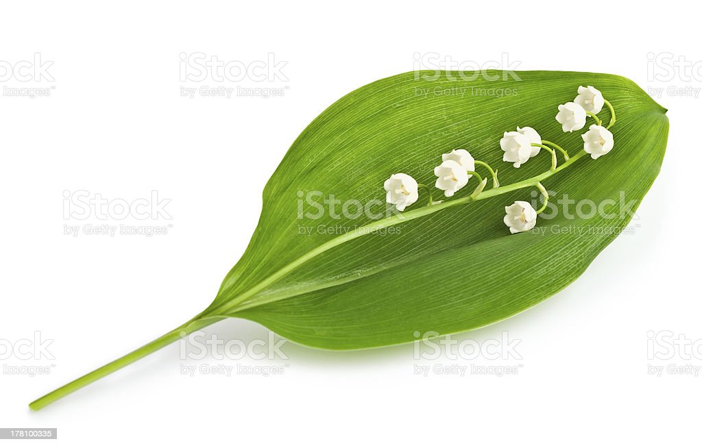 lily of the valley close up royalty-free stock photo