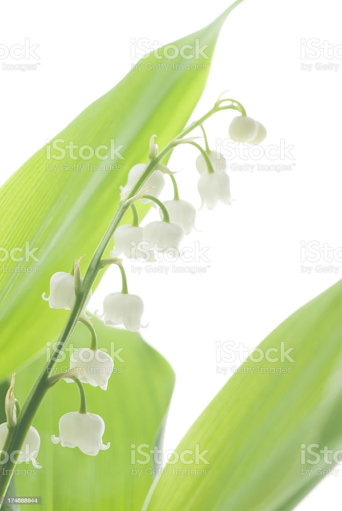 Lily of the Valley (Convallaria majalis) flowers - I royalty-free stock photo