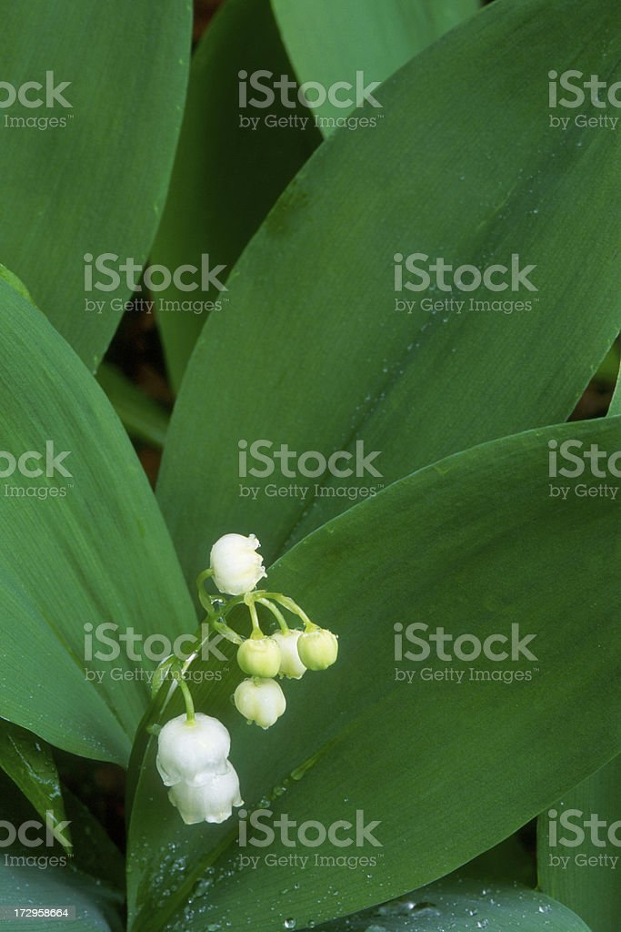 Lily of the Valley Flowers in Spring stock photo