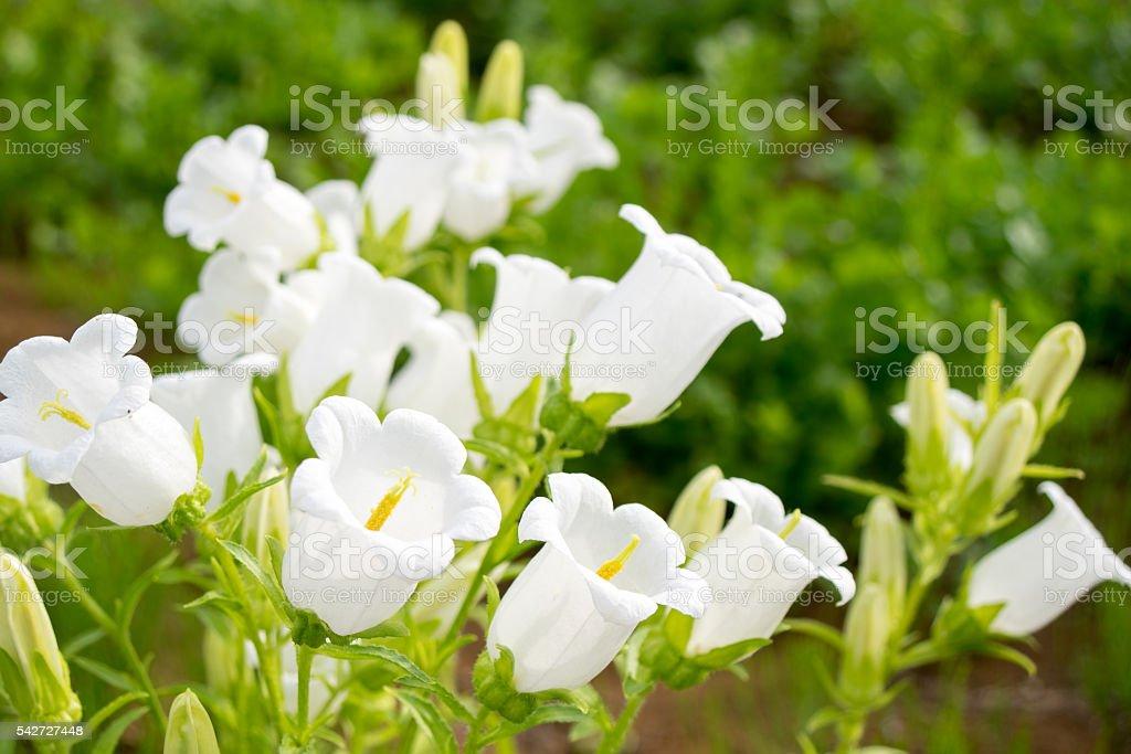 Lys de la vallée des fleurs  photo libre de droits
