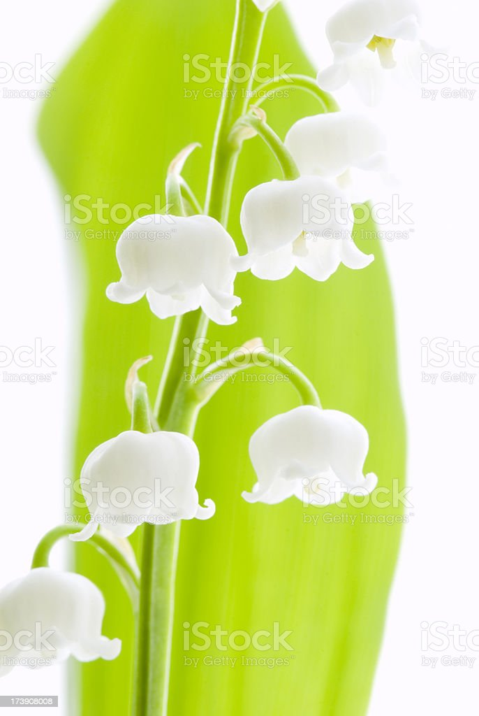 Lily of the Valley (Convallaria majalis) flowers - V royalty-free stock photo