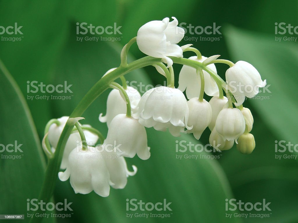 Lily of the valley growing wild royalty-free stock photo