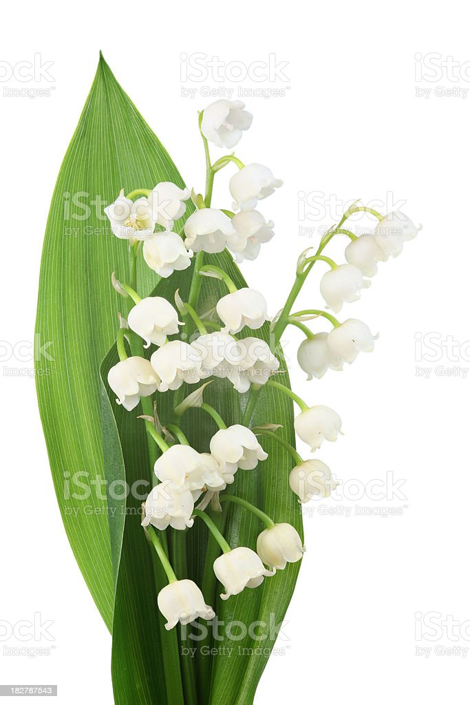 lily of the valley (convallaria majalis) isolated on white royalty-free stock photo