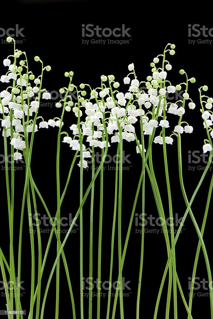 Lily of the valley (Convallaria majalis) royalty-free stock photo