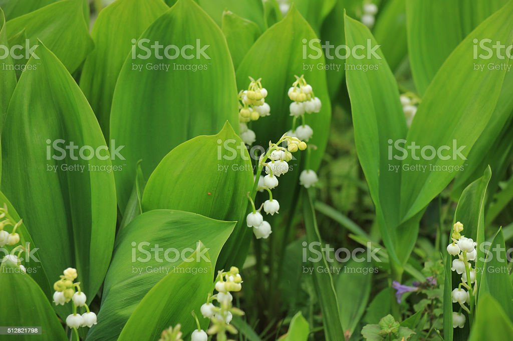 Lily of the valley in full blossom
