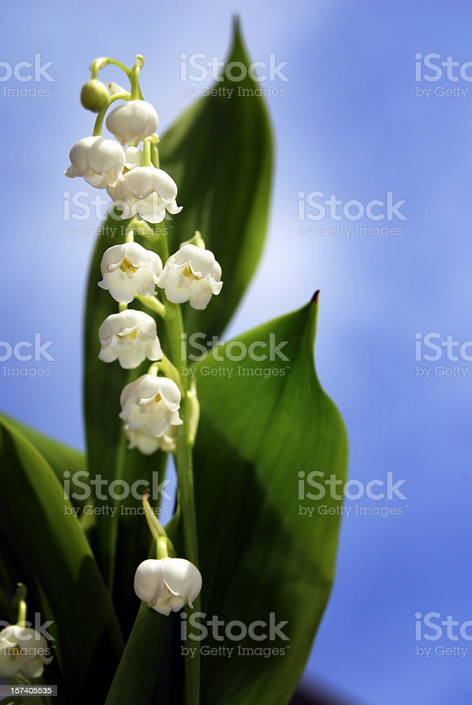 Lily of the Valley (Convallaria majalis) Shallow DOF stock photo