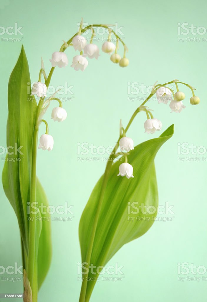 Lily of the Valley (Convallaria majalis) Shallow DOF royalty-free stock photo