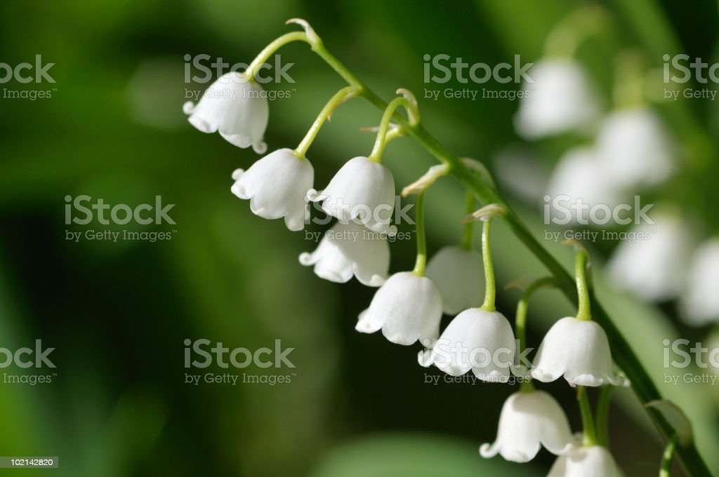 Lily of the Valley White Blooms royalty-free stock photo