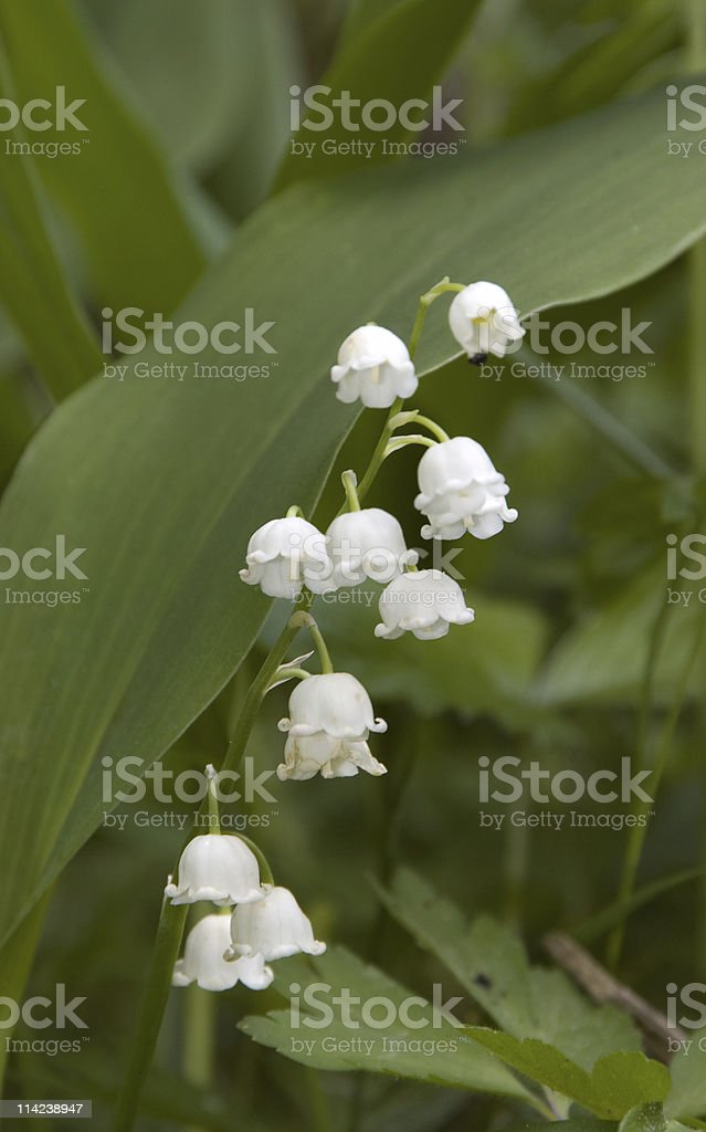 Lily of the valley white flowers close-up stock photo