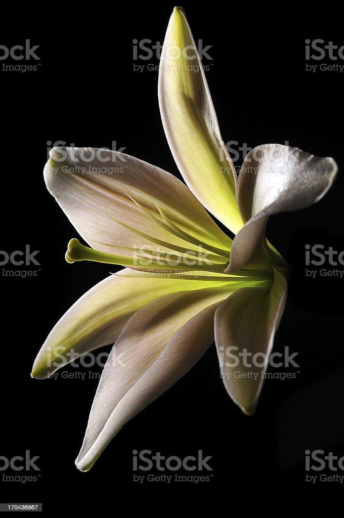 lily on black background stock photo