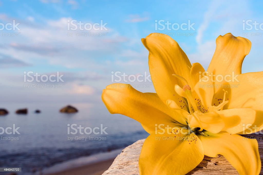 Lily on the seashore stock photo