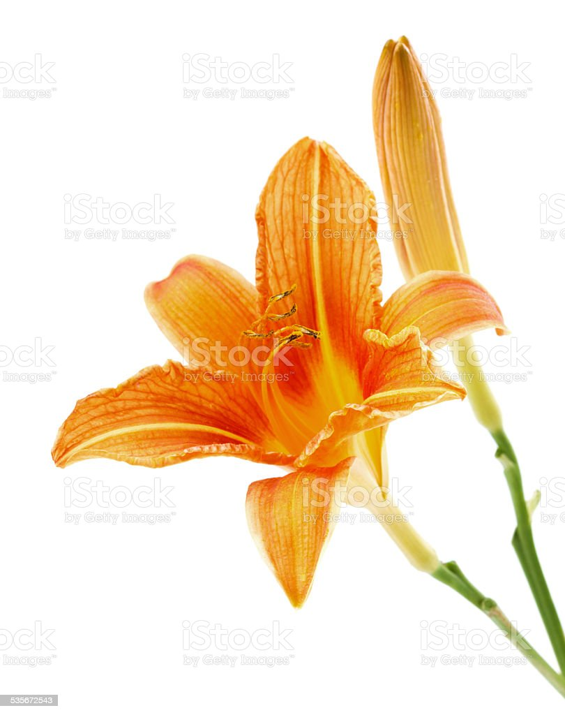 lily or daylily isolated on white stock photo