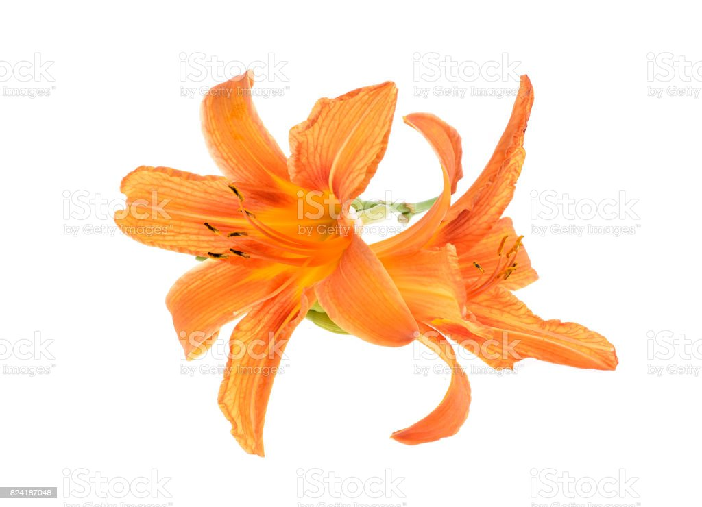 lily  orange daylily   /Hemerocallis/ stock photo