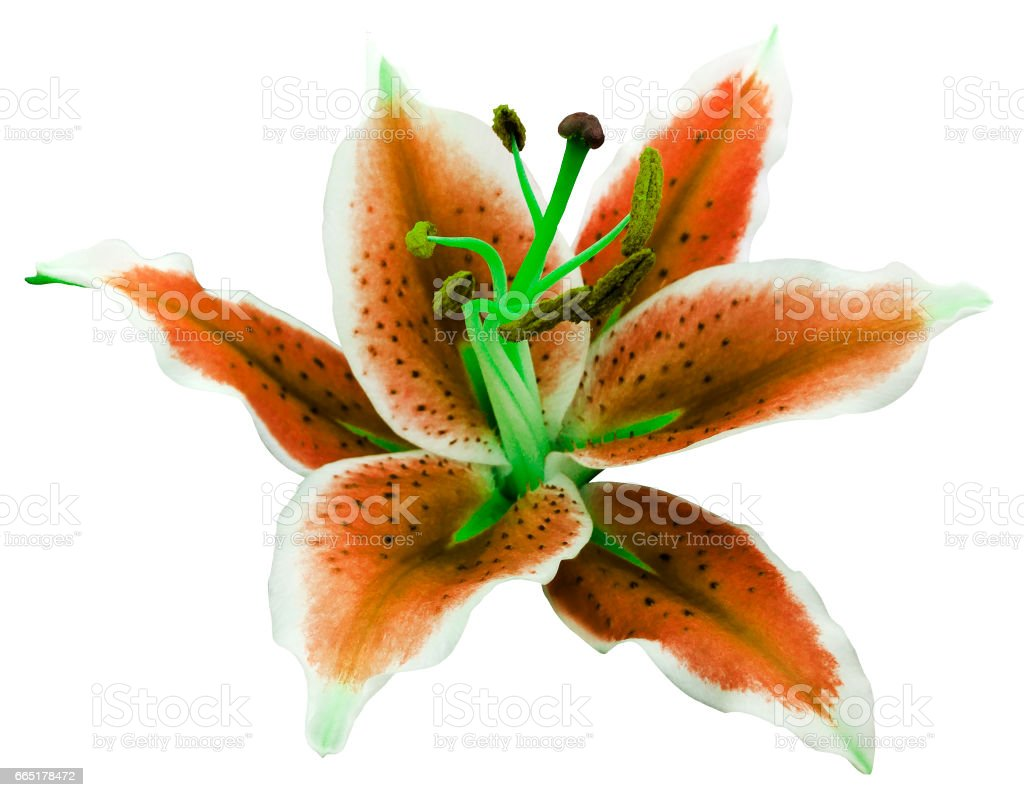 lily orange-white flower on a white background isolated  with clipping path. for design.'nNature. stock photo