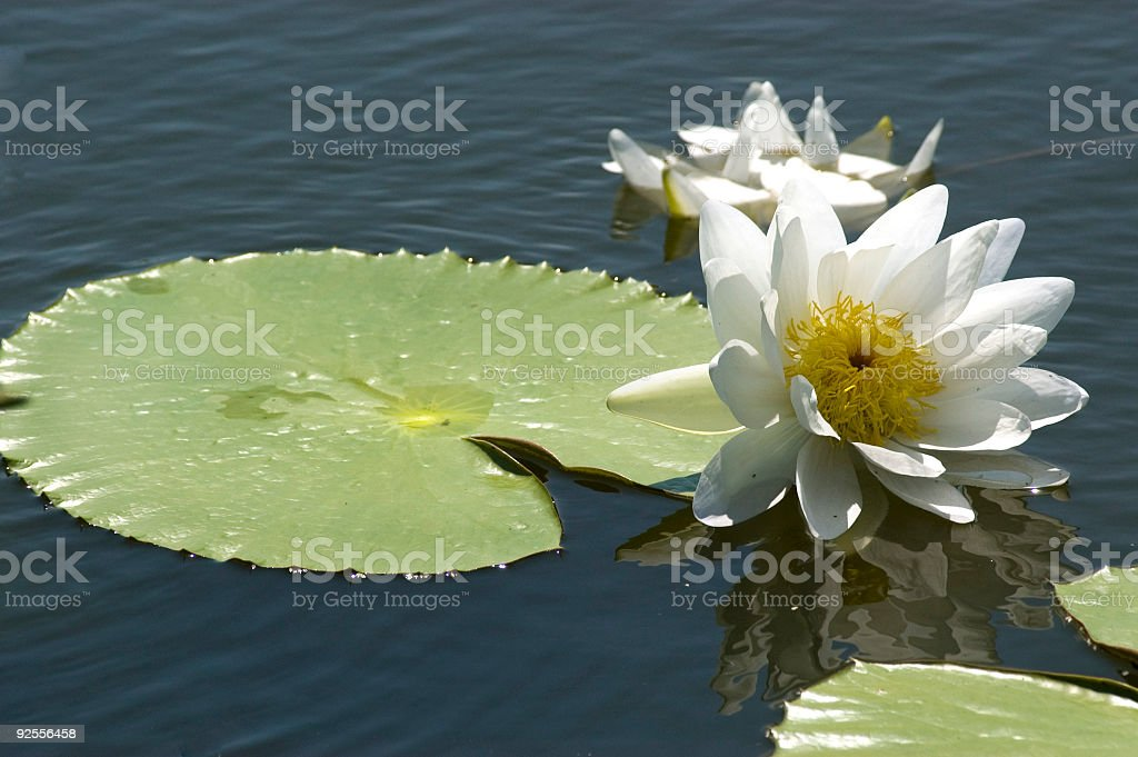 Lily Pad and White Blossom stock photo