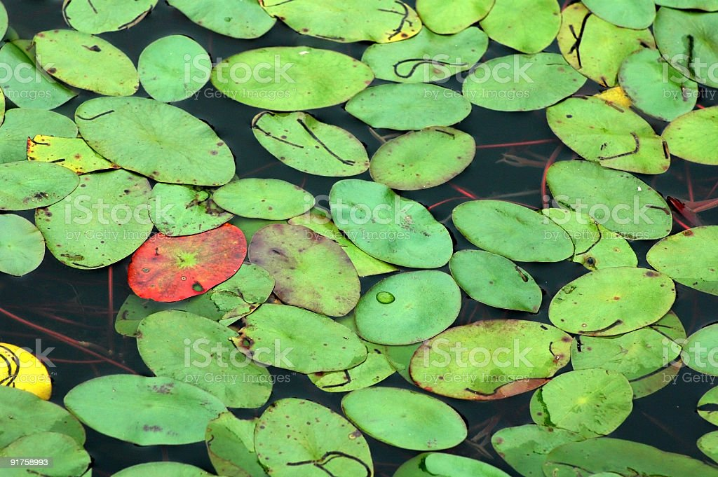 Lily Pad Background royalty-free stock photo