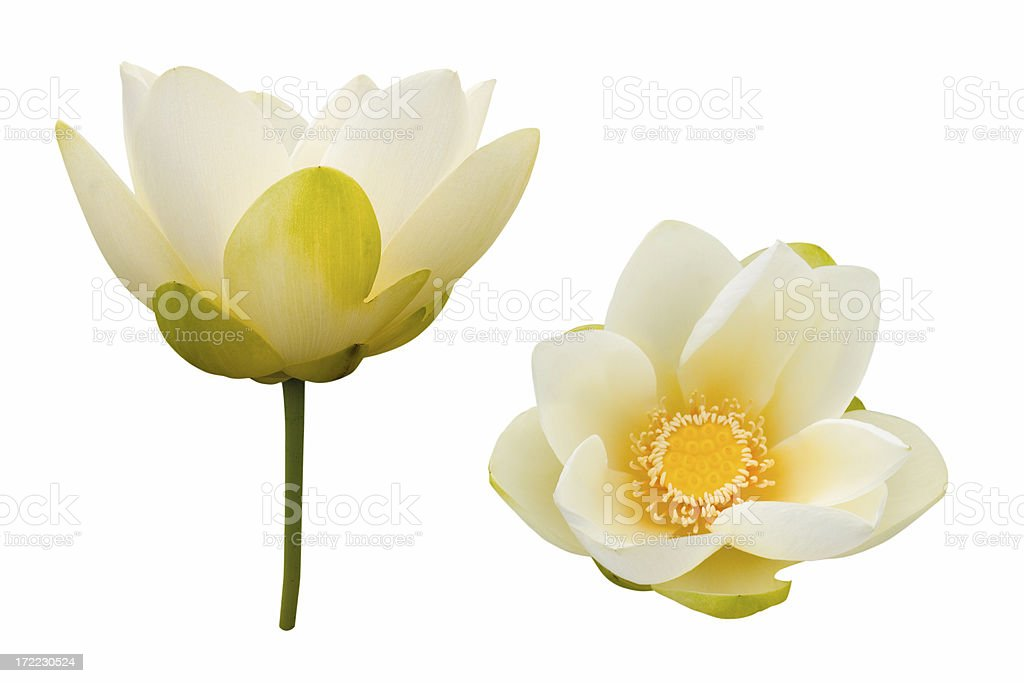Lily Pad blooms royalty-free stock photo