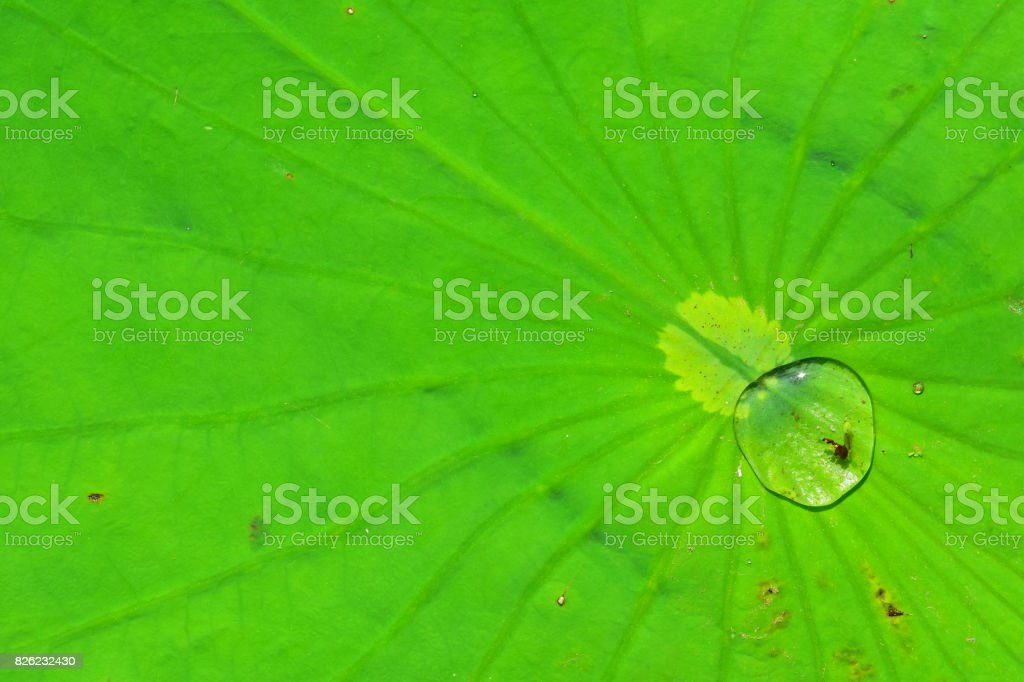 Lily pad center with radiating leaf veins and a silvery water drop stock photo